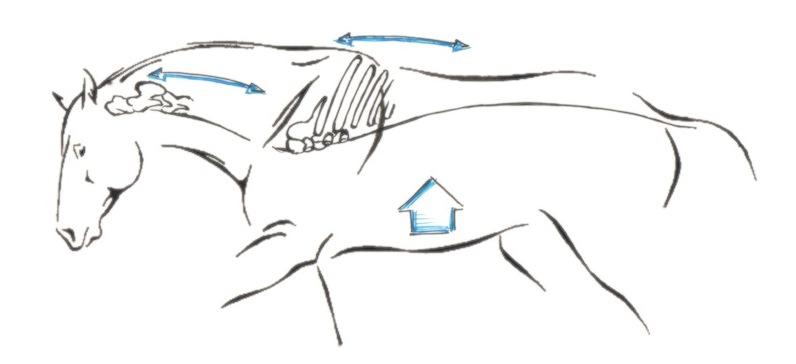 Anatomische Hintergründe verstehen – die Pferdeausbildung optimieren
